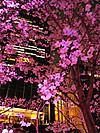2012_ミッドタウンの夜桜