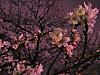 2012_夜桜。都内某所。