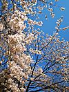 2012_吉祥寺の桜